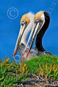 California Brown Pelican 00007 Two California brown pelicans, by Peter J Mancus