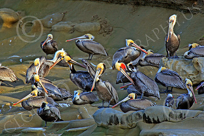 California Brown Pelican 00016 A group of resting, mature, California brown pelicans, by Peter J Mancus