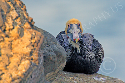 California Brown Pelican 00026 A California brown pelican nested behind a rock against the wind, by Peter J Mancus