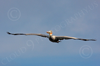 California Brown Pelican 00023 A soaring California brown pelican, by Peter J Mancus