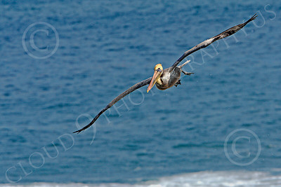 California Brown Pelican 00015 A California brown pelican flying over the Pacific Ocean, by Peter J Mancus