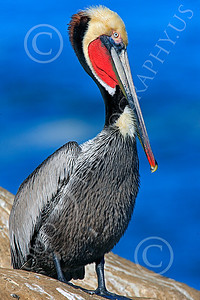 California Brown Pelican 00003 A mature male California brown pelican, by Peter J Mancus