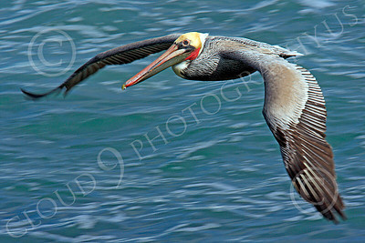 California Brown Pelican 00019 A California brown pelican flying over the Pacific Ocean, by Peter J Mancus