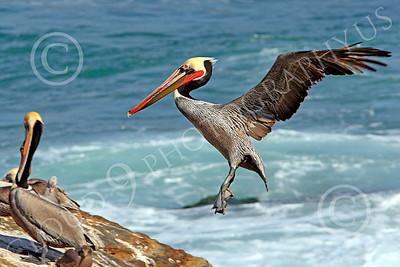 California Brown Pelican 00004 A California brown pelican prepares to land, by Peter J Mancus