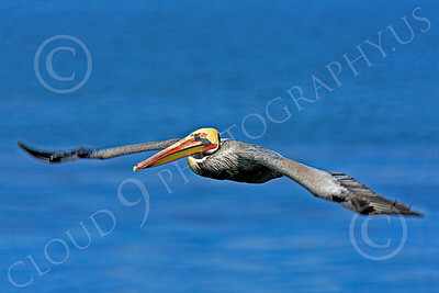 California Brown Pelican 00008 A flying California brown pelican with long, out-stretched wings, by Peter J Mancus