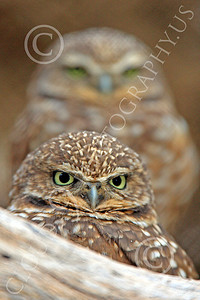 Burrowing Owl 00003 Two burrowing owls look out from their den, by Peter J Mancus