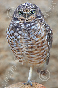 Burrowing Owl 00019 A burrowing owl stands on one leg, by Peter J Mancus