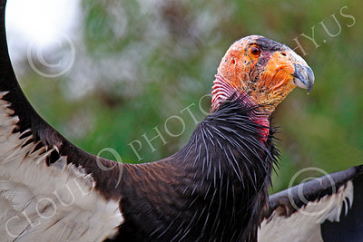 California Condor 00004 A mature California condor spreads its wings, by Peter J Mancus