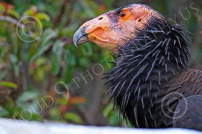 California Condor 00008 A mature California condor, by Peter J Mancus