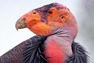 California Condor 00066 Close up head portrait of a mature California condor, by Peter J Mancus