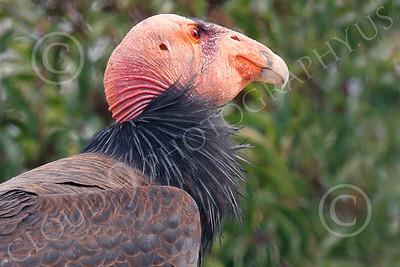 California Condor 00018 A mature California condor surveys its environment, by Peter J Mancus