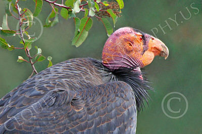 California Condor 00060 A mature California condor in a tree, by Peter J Mancus