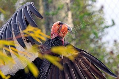 California Condor 00072 A mature California condor flaps its wings, by Peter J Mancus