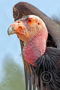 California Condor 00007 A standing mature California condor spreads its wings, by Peter J Mancus