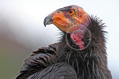 California Condor 00080 A mature California condor looks over it shoulder, by Peter J Mancus