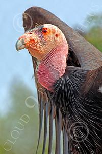 California Condor 00059 A standing mature California condor spreads its wings, by Peter J Mancus