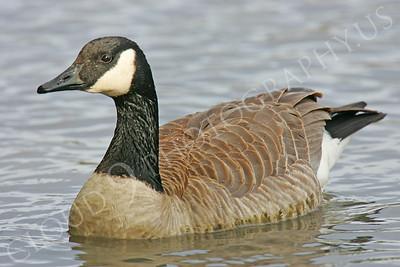 Canada goose 00007 by Peter J Mancus