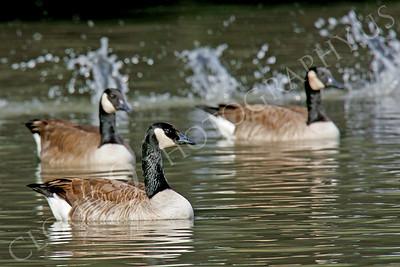 Canada goose 00008 by Peter J Mancus