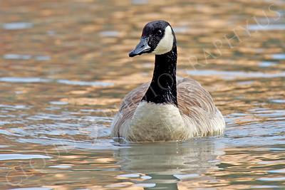 Canada goose 00003 by Peter J Mancus