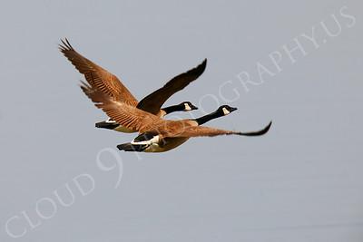 Canada Goose 00001 by Peter J Mancus