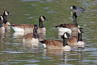 Canada goose 00004 by Peter J Mancus