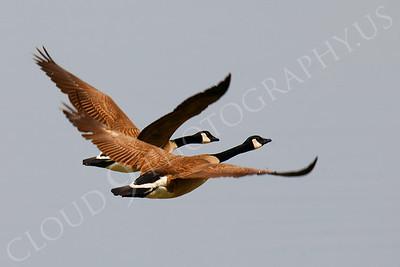 Canada Goose 00002 by Peter J Mancus