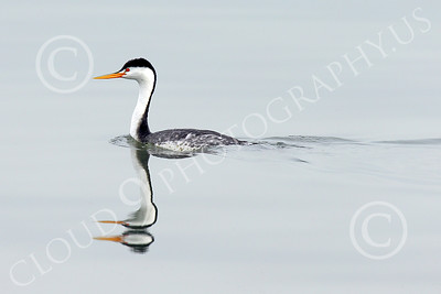 Clark's Grebe 00001 A one headed Clark's Grebe swimming in San Francisco Bay with a two-headed reflection, wild bird photograph by Peter J Mancus