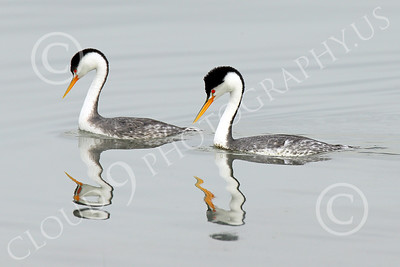 Clark's Grebe 00004 Two Clark's Grebes swim together in San Francisco Bay, wild bird photograph by Peter J Mancus