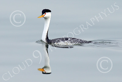 Clark's Grebe 00006 A Clark's Grebe swims in San Francisco Bay, wild bird photograph by Peter J Mancus