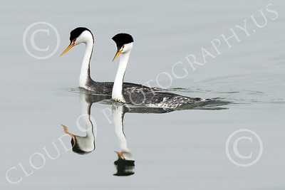 Clark's Grebe 00002 Two Clark's Grebes swim together in San Francisco Bay, wild bird photograph by Peter J Mancus