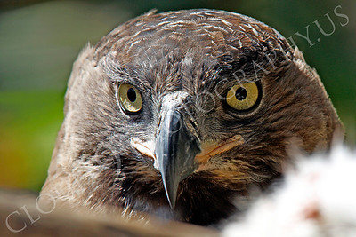 Crowned Eagle 00007 by Peter J Mancus