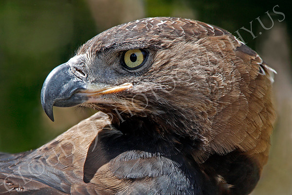Crowned Eagle 00005 by Peter J Mancus