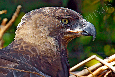 Crowned Eagle 00026 by Peter J Mancus