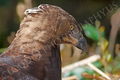 Crowned Eagle 00008 by Peter J Mancus