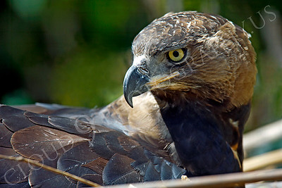 Crowned Eagle 00004 by Peter J Mancus