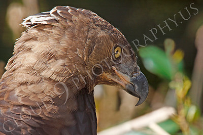Crowned Eagle 00036 by Peter J Mancus