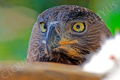 Crowned Eagle 00006 by Peter J Mancus