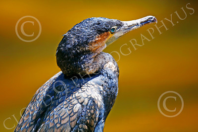 Double-Crested Cormorant 00002 Close up portrait of a double-crested cormorant, by Peter J Mancus