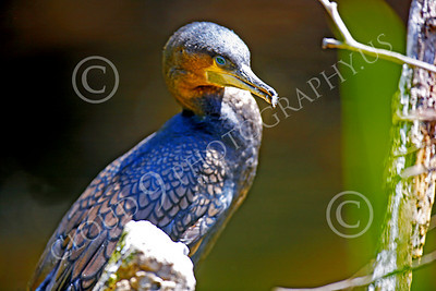 Double-Crested Cormorant 00001 An adult double-crested cormorant, by Peter J Mancus