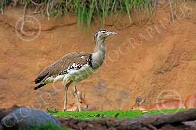 East African Kori Bustard 00008 An east african kori bustard, by Peter J Mancus