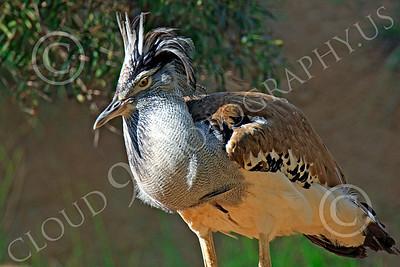 East African Kori Bustard 00006 An east african kori bustard, by Peter J Mancus