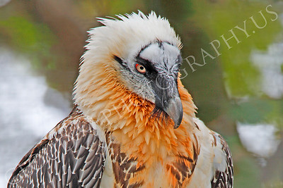 Eurasian Bearded Vulture 00004 by Peter J Mancus