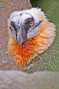 Eurasian Bearded Vulture 00005 by Peter J Mancus