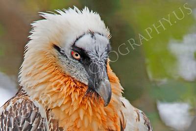 Eurasian Bearded Vulture 00018 by Peter J Mancus
