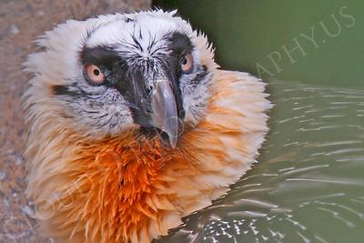 Eurasian Bearded Vulture 00003 by Peter J Mancus