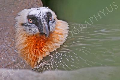 Eurasian Bearded Vulture 00017 by Peter J Mancus