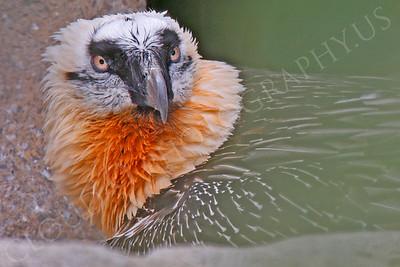 Eurasian Bearded Vulture 00002 by Peter J Mancus
