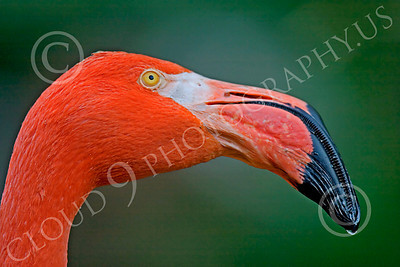 Flamingo 00010 Close up portrait of a flamingo, by Peter J Mancus