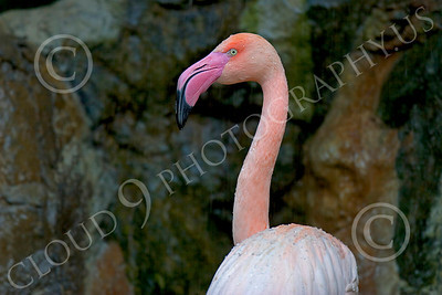 Flamingo 00004 A standing flamingo with water droplets, by Peter J Mancus