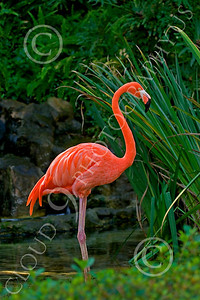 Flamingo 00007 Standing flamingo, by Peter J Mancus